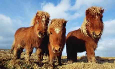 Shetland-ponies-007